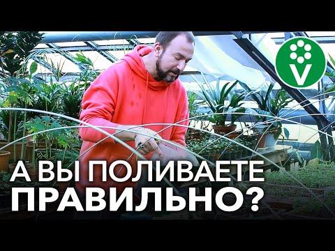 СЕРЬЕЗНАЯ ОШИБКА ПРИ ПОЛИВЕ ТОМАТОВ. Как правильно поливать рассаду томатов, перцев, огурцов?