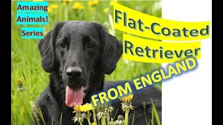 Flatcoated Retriever | Amazing Animals | Pet Dogs