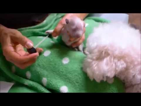 Dewclaw Removal on 3 Day old Maltipoo / Poodle Puppies