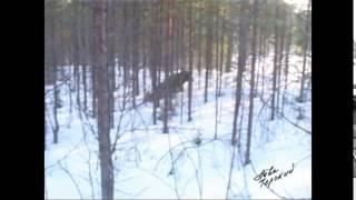 Охота на лося с собаками   YouTube