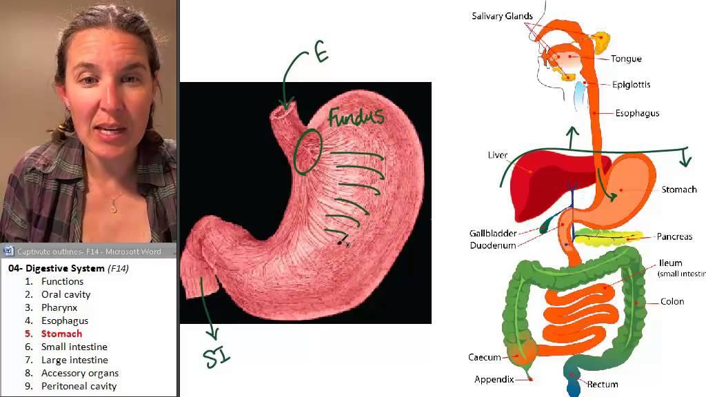 Digestive System 5- Stomach