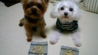 Speed-eating Contest [yorkie V.s. Maltese]