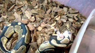 КОРОЛЕВСКИЙ ПИТОН СЪЕДАЕТ МЫШЬ!!!!Royal python eating a mouse