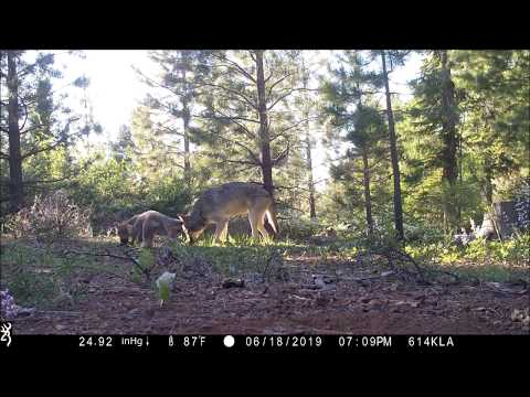 Gray Wolves in California: female, yearling and pups
