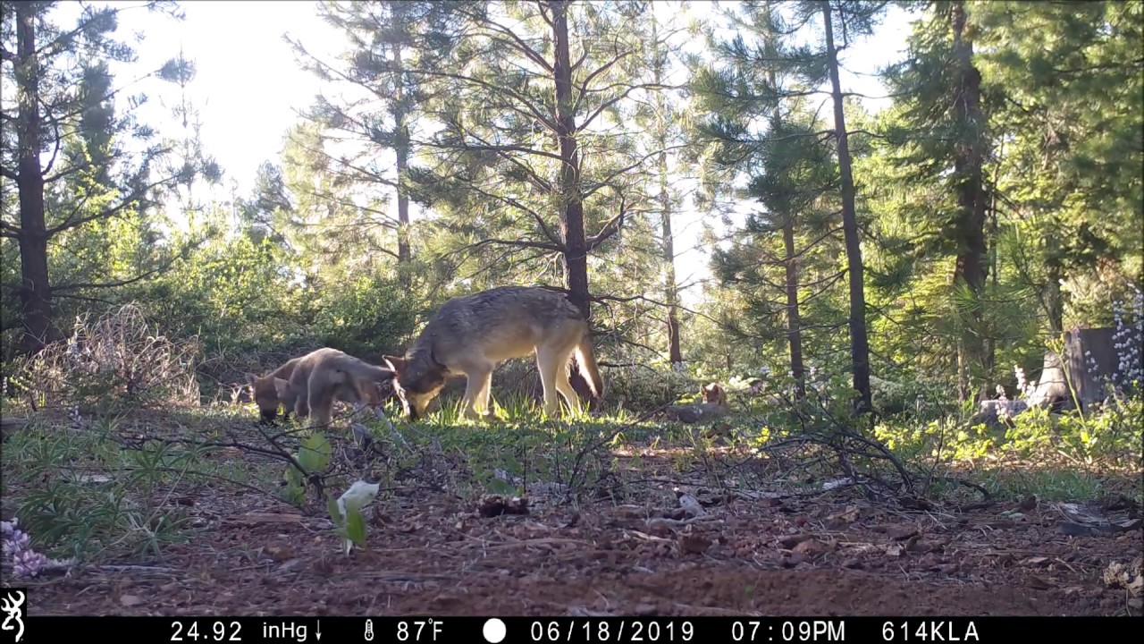 Video: California's Only Wolfpack Welcomes 3 New Pups | Teton