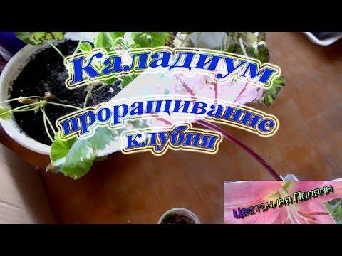 Каладиум. Проращивание клубня.