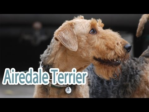 Airedale Terrier Breed