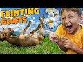 FAINTING GOATS!  It's Funny but Sad 🐐 (FV Family Farm Vlog)