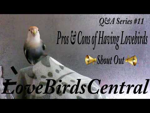 Q&A Series #11   Pros & Cons Of Having Lovebirds   Shout Out   LoveBirdsCentral #80