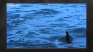Weisser Hai   Dokumentation [Deutsch]