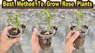 how to grow roses in containers