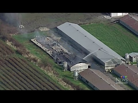 14,000 young chickens perish in B.C. poultry farm fire