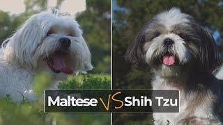 Maltese vs Shih Tzu  Dog Breed Comparison