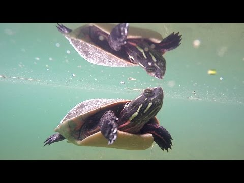 A Turtle, a Fish and a GoPro