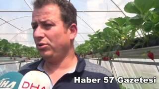 Sinopta Topraksız Çilek üretiminde %100 Başarı Sağlandı