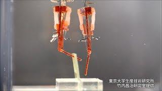 ラットの筋肉を使い、指のように動くロボットを、東京大生産技術研究所...