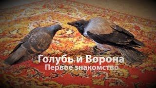 Ворона и голубь. Первое знакомство