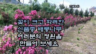 추위에 강하고 꽃이 더 예쁜 신품종배롱나무 , 꽃이 없…