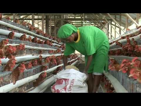 Ermera Produce Eggs Government Eggs From Abroad And UNMIT Buy Internationally