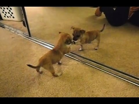 'Puppies Discovering Mirrors for the First Time Compilation' || CFS