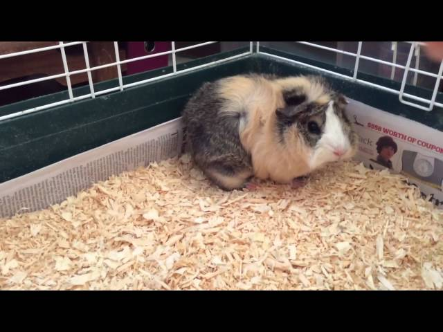 Guinea pig yawn