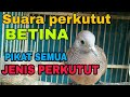 Suara Perkutut Betina Lokal Ngalas(.mp3 .mp4) Mp3 - Mp4 Download