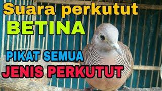 SUARA PERKUTUT BETINA LOKAL.mp3