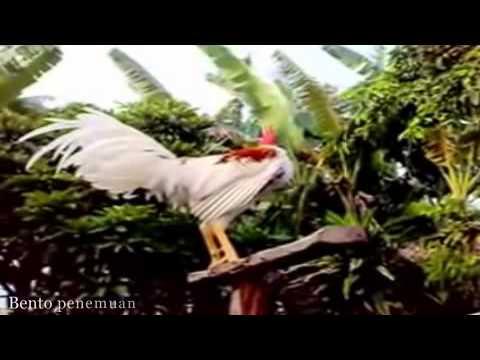 suara ayam ketawa kuntilanak
