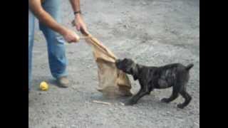 12 weeks puppy bite work (Bronco de Tauco x Charca de Tauco)