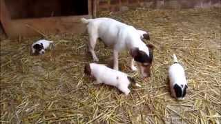 VIDEO CHIOTS JACK RUSSEL 3,5 semaines