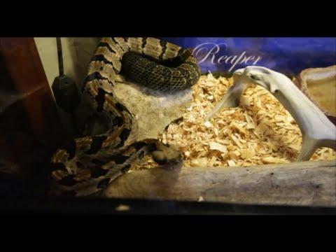 Timber Rattlesnake - meet the Reaper