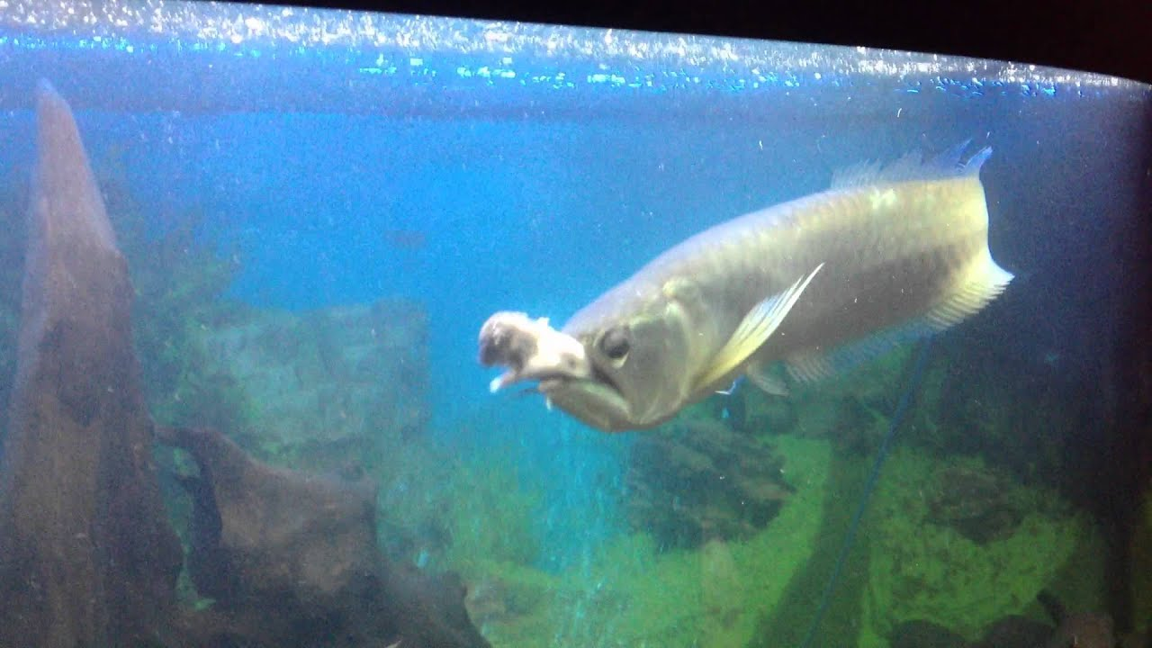 Large Silver Arowana Eats Rat Youtube