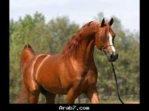 اجمل صور الخيول العربيه من تامر ابو عصب 2008