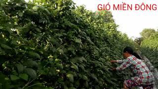 cách trồng đậu đũa cho năng xuất cao va hiệu quả