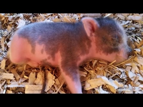 Little Piggy Born Without Use of Two Legs Doesn