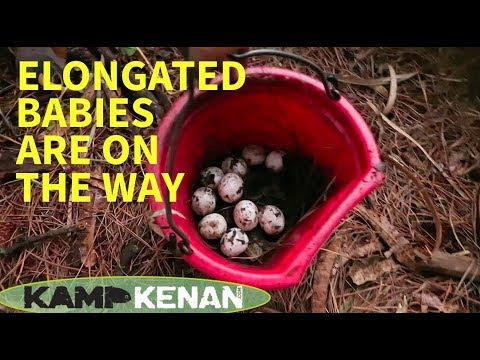 Finding Lots of Elongated Tortoise Eggs