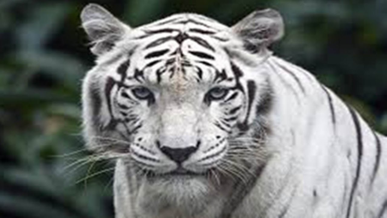 roaring indian white tiger caught on tape live | critically