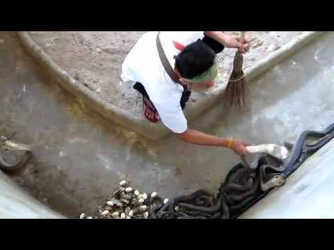 Eleveur de cobras - Stockbreeder of cobras. Travel Video