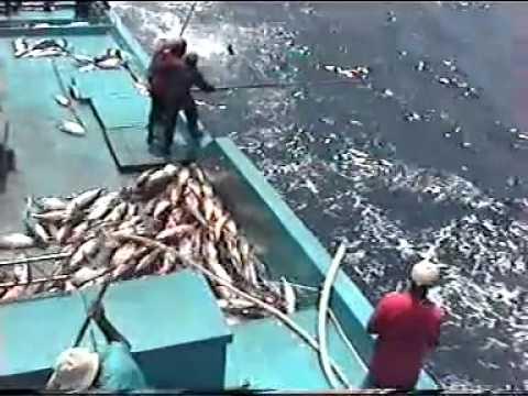 Câu cá Ngừ...