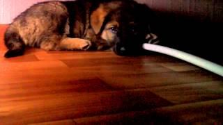 Самая красивая собака в мире