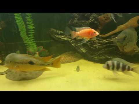 125 gallon sting ray shark frontosa tank