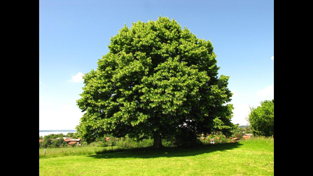 Die Linde Baum Der Liebe Youtube