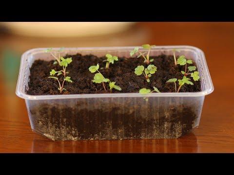 Пикировка земляники. Наша рассада не болеет! | фитоспорин | пикировать | препараты | пикировка | землянику | земляники | поливать | садовый | черной | против