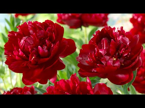 How to Plant Peonies: Spring/Summer Guide