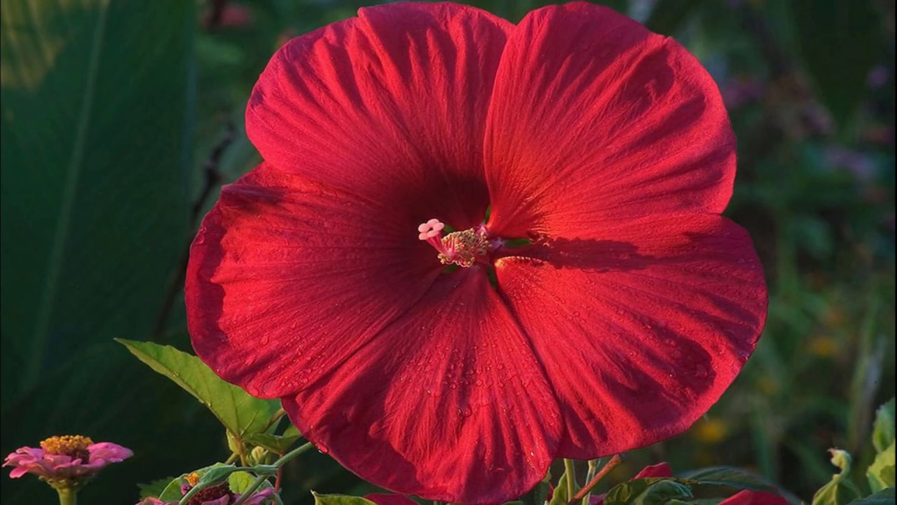 Red Flowers Hd1080p Youtube