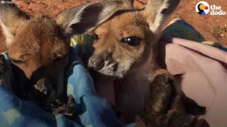 Orphaned Kangaroos Get Ready For Their Nap
