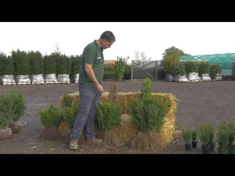 All You Need To Know About Common Box Hedging Plants - Hopes Grove Nurseries