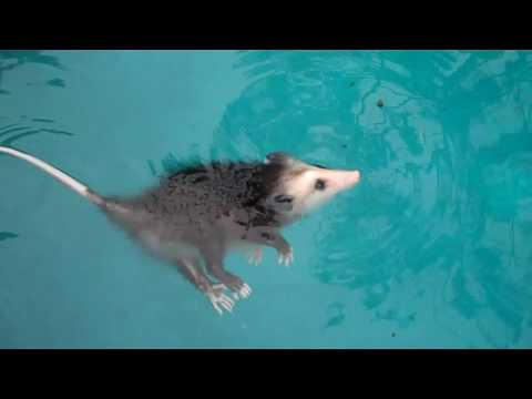 Tiny Opossum Taking Water Treatment