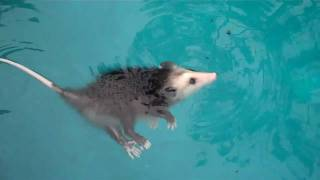 Baby opossum swimming, playing dead & More!