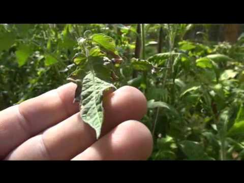 ⟹-heat-damage-!!-solanum-lycopersicum-to-tomato-plants-100-+-degrees-#tomato